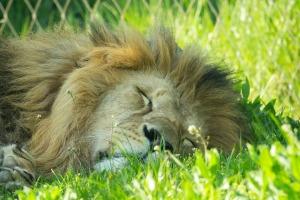 lion-4166479_1920